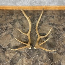 Elk Antler Craft Pack For Sale #25097 @ The Taxidermy Store