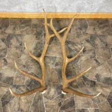 Elk Antler Craft Pack For Sale #25100 @ The Taxidermy Store