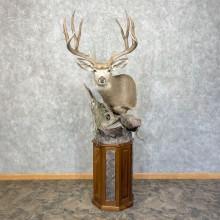 Mule Deer Shoulder Taxidermy Mount For Sale