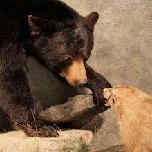 Black Bear w/ Badger