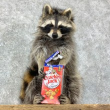 """Cracker Jack"" Raccoon Mount For Sale #23070 @ The Taxidermy Store"