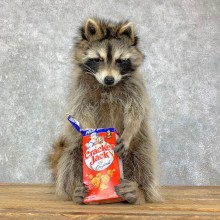 """""""Cracker Jack"""" Raccoon Mount For Sale #23071 @ The Taxidermy Store"""