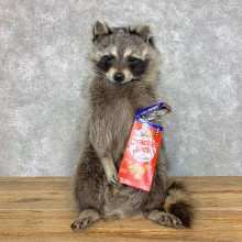 """Cracker Jack"" Raccoon Mount For Sale #23418 @ The Taxidermy Store"