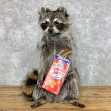 """Cracker Jack"" Raccoon Mount For Sale #23419 @ The Taxidermy Store"