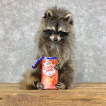 """Cracker Jack"" Raccoon Mount For Sale #23421 @ The Taxidermy Store"