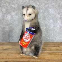"""Cracker Jack"" Opossum Mount For Sale #23393 @ The Taxidermy Store"