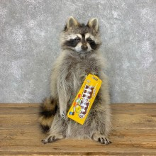 """""""M&M"""" Raccoon Mount For Sale #23057 @ The Taxidermy Store"""