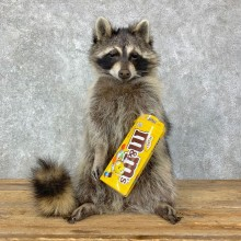 """""""M&M"""" Raccoon Mount For Sale #23073 @ The Taxidermy Store"""