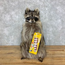 """M&M"" Raccoon Mount For Sale #23415 @ The Taxidermy Store"