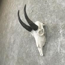 Mountain Goat Skull European Taxidermy Mount For Sale #24253 - The Taxidermy Store