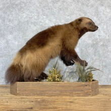 Wolverine Life-Size Mount For Sale #23185 @ The Taxidermy Store
