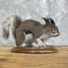Abert's Squirrel Mount For Sale #22911 @ The Taxidermy Store