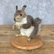 Abert's Squirrel Mount For Sale #23632 @ The Taxidermy Store