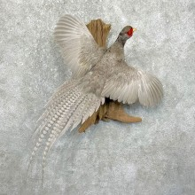 Abyssinian Blue Pheasant Taxidermy Bird Mount For Sale