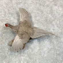 Abyssinian Pheasant Bird Mount For Sale #22915 @ The Taxidermy Store