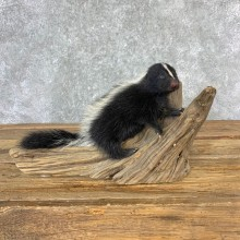 Adolescent Skunk Taxidermy Mount #23228 For Sale @ The Taxidermy Store