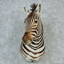 African Burchell's Zebra Shoulder Taxidermy Mount M1 #12815 For Sale @ The Taxidermy Store