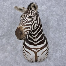 African Burchell's Zebra Shoulder #12487 For Sale @ The Taxidermy Store