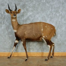 Cape Bushbuck Life-Size Taxidermy Mount #13458 For Sale @ The Taxidermy Store