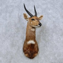 Cape Bushbuck Shoulder Mount For Sale #14570 @ The Taxidermy Store