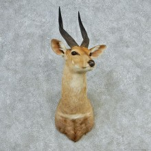 African Bushbuck Shoulder Taxidermy Mount #12719 For Sale @ The Taxidermy Store