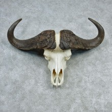 African Cape Buffalo Skull & Horn European Mount #12726 For Sale @ The Taxidermy Store