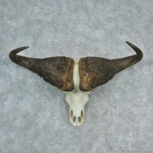 African Cape Buffalo Skull & Horn European Mount #12727 For Sale @ The Taxidermy Store