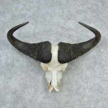 African Cape Buffalo Skull & Horn European Mount #12736 For Sale @ The Taxidermy Store