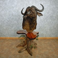 African Cape Buffalo Pedestal Taxidermy Shoulder Mount #12768 For Sale @ The Taxidermy Store