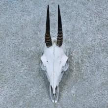 Bush Duiker Skull & Horns European Mount For Sale #15499 @ The Taxidermy Store