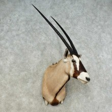 African Gemsbok Shoulder Mount For Sale #16219 @ The Taxidermy Store