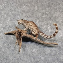 African Genet Cat Mount #11568 - For Sale @ The Taxidermy Store