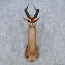 African Gerenuk Shoulder Mount For Sale #14572 @ The Taxidermy Store