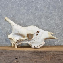 African Giraffe Upper Skull #12044 For Sale @ The Taxidermy Store