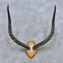 Impala Skull Cap & Horn European Mount For Sale #14485 @ The Taxidermy Store