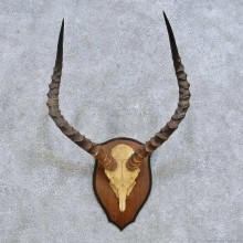 African Impala Skull & Horn European Mount For Sale #14622 @ The Taxidermy Store