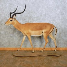 African Impala Life Size Taxidermy Mount For Sale