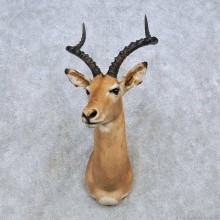 African Impala Shoulder Mount For Sale #14555 @ The Taxidermy Store