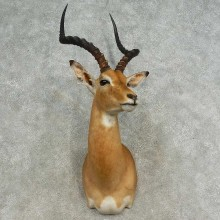 African Impala Shoulder Mount For Sale #16656 @ The Taxidermy Store