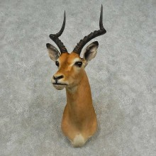 African Impala Shoulder Mount For Sale #16704 @ The Taxidermy Store