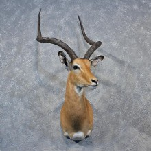 African Impala Shoulder Head Mount #12033 For Sale @ The Taxidermy Store