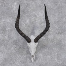 African Impala Taxidermy European Skull & Horn Taxidermy Mount #12421 For Sale @ The Taxidermy Store