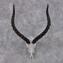 African Impala Taxidermy European Skull & Horn Taxidermy Mount #12422 For Sale @ The Taxidermy Store