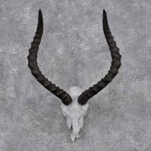 African Impala Taxidermy European Skull & Horn Taxidermy Mount #12423 For Sale @ The Taxidermy Store