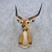 Kafue Flats Lechwe Taxidermy Shoulder Mount For Sale