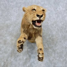 African Lion Life-Size Mount For Sale #14608 @ The Taxidermy Store