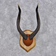 Nyala Horn Taxidermy Plaque Mount #12380 For Sale @ The Taxidermy Store