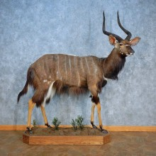 African Nyala Life-Size Mount For Sale #15557 @ The Taxidermy Store