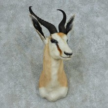 African Springbok Shoulder Mount #13709 For Sale @ The Taxidermy Store