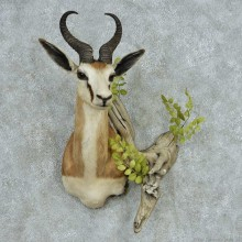 African Springbok Shoulder Mount #13478 For Sale @ The Taxidermy Store